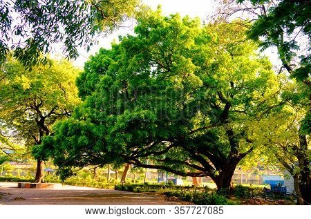 Front View Of One Old Large Banyan Tree In Public Park At Autumn Sunset Time. Brightly Lit By Beauti