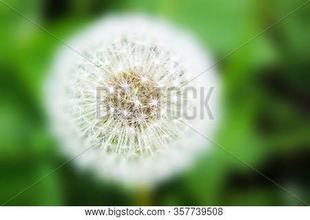 A Highly Focused Dandelion With A Close Up. Macro. Clear Focusing On The Subject.