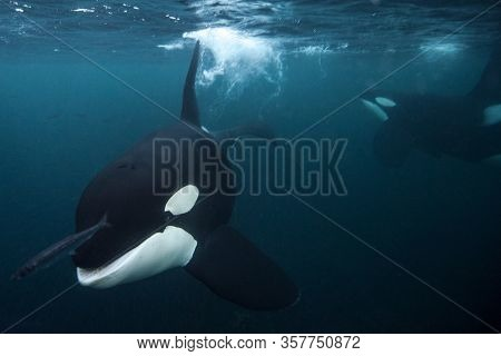 Killer Whale Chasing A Herring Underwater In Dark Arctic Sea