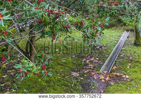 Ilex Aquifolium - A Plant Of The Holly Family, A Species Of The Holly Genus. Christmas Holly Red Ber