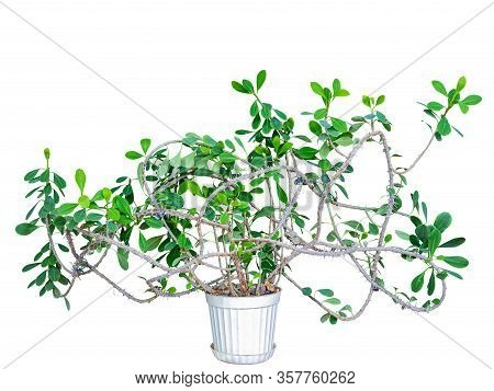 A Plant Of Euphorbia Mile, With Intricately Braided Branches In A Home Collection, The Birthplace Of