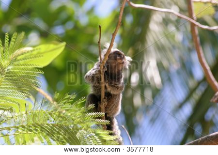 Marmoset (Callithrix Jacchus) South American Monkey