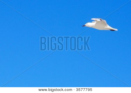 Seagull Fly On The Sky