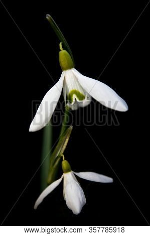 Fragile Snowdrop As Harbinger Of Wonderful Spring Time