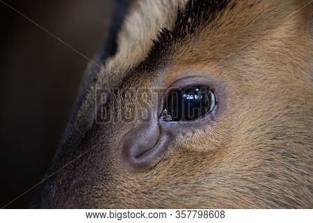 Close Up Detail Of The Eye Of A Muntjac And Its Ocular Scent Gland