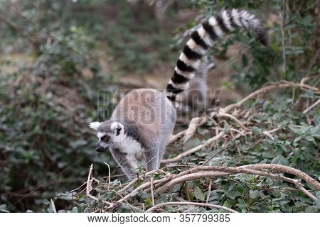 Adult Ring Tailed Lemur Searching For Food In A Tree Branch