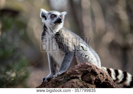 Portrait Of An Alert Adult Ring Tailed Lemur On A Rock At Sunset