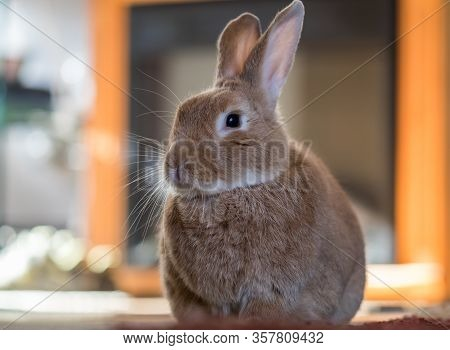 Beautiful Rufus Rabbit Poses Indoors With Warm Back Light