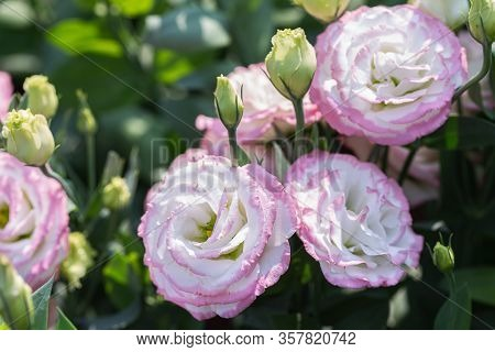 Colorful Flower. Flower In Garden At Sunny Summer Or Spring Day. Flower For Postcard Beauty Decorati