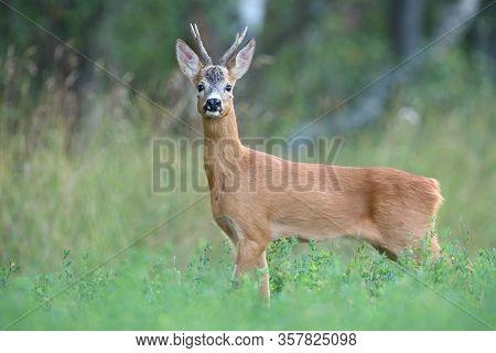 Interested Roe Deer Buck Facing Camera In Summer Nature