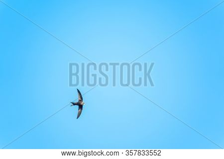 The Swift Flight Of Swallows In The Blue Clear Sky. Fast Birds In The Summer Sky.