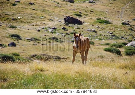 Foal On Meadow In Mountain Valley In Pyrenees Near Coma Pedrosa Peak. Andorra