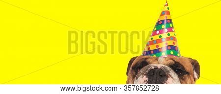 close up of an adorable english bulldog dog wearing birthday hat and hiding his face from camera happy on yellow studio background
