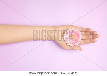 Womans Hands With A Bright Pink Gerbera Flowers On A Purple Backround. Product Or Skin Care, Natural