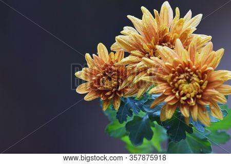 Selective Focus Of Yellow Orange Chrysanthemum Indicum Closeup Also Known As Mums Or Fall Mum Flower