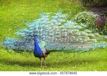 Indian Peafowl (latin: Pavo Cristatus) (also Known As The Common Peafowl Or Blue Peafowl), Walking O