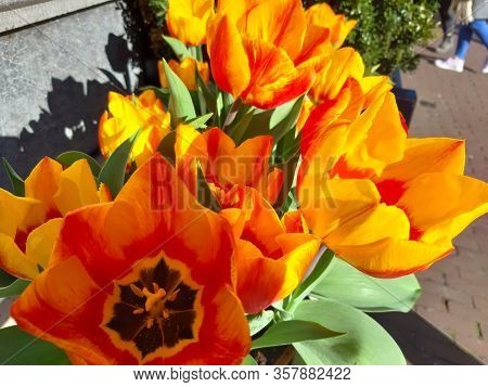 Bunch Of Red And Orange Dutch Tulips