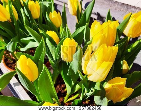 Bright Bunch Of Yellow Dutch Tulips Flowers
