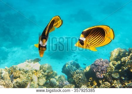 Pair Of Raccoon Butterflyfishes Over The Coral Reef, Clear Blue Turquoise Water. Colorful Tropical F
