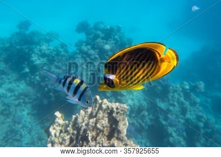 Raccoon Butterflyfish And Scissortail Sergeant Fish. Colorful Beauty Stripped Saltwater Fish In The