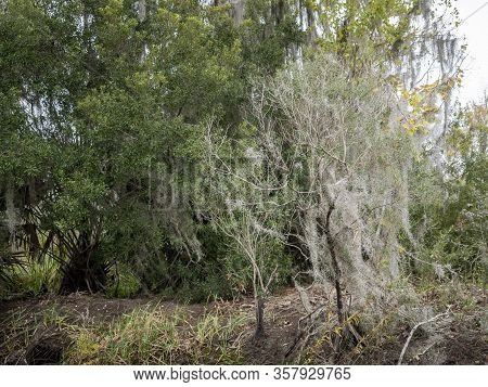 Trees Growing In A Swampy Area, With Moss-draped Epiphytes Such As Spanish Moss Surviving Over Trunk