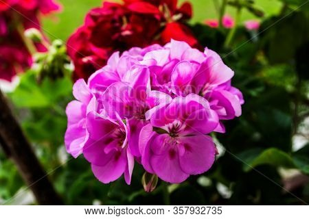Beautiful Pink Geranium Flowers In A Pot On A Green Background.