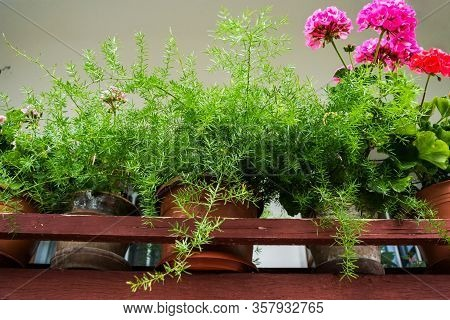 Beautiful Pink Geranium Flowers And Asparagus Plant In A Pot On A Green Background.