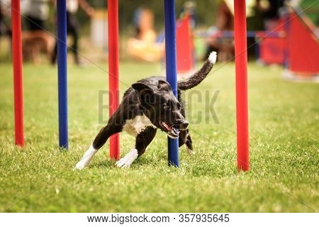 Tricolor Border Collie In Agility Slalom On Ratenice Competition. Amazing Day On Czech Agility Compe