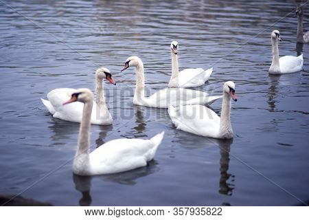 Closeup Of Group Of Swans Swimming In Vltava River In Dusk. Blue Water Of River In Twilight With A L
