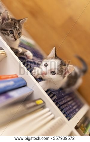 Top View Of Two Adorable Little Kittens Playing Around Book Shelves In The Living Room, Climbing, Hi