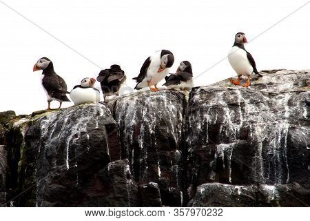 A Group Of Six Puffins Sat On A Rock Of The Cost Of Northumberland.
