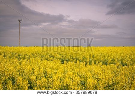 A Canola (rapeseed) Field Is In Full Bloom. The Old Electricity Poles Still Stands In The Field. Tak