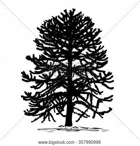 Silhouette Of Araucaria (araucaria L.) Tree, Black Vector Image On White Background