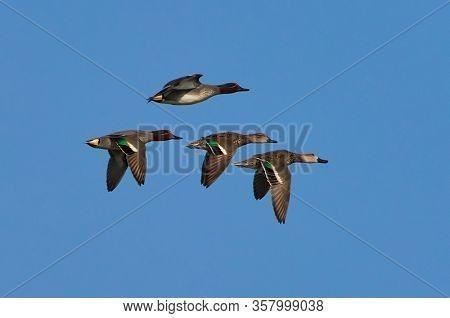 wild ducks flying against blue sky (anas crecca)