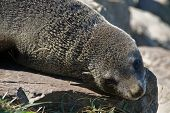 New Zealand Fur Seal Posing on the rocks poster