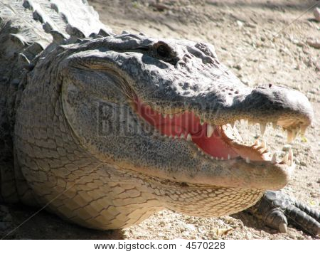 A Florida alligator approaching. It is lunch time and this gator is ready for a feast. poster