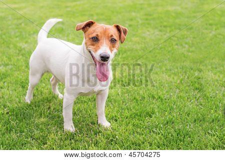 dog on green lawm