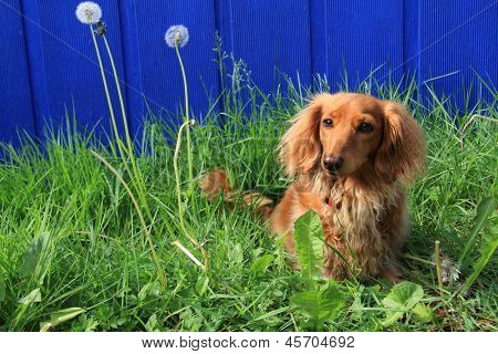 Dachshund outside against a vivid blue background. poster