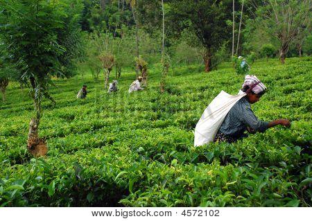 At The Tea Plantation