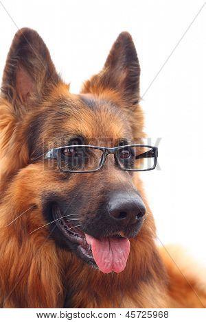 Long-haired german shepherd  in black eyeglasses. poster