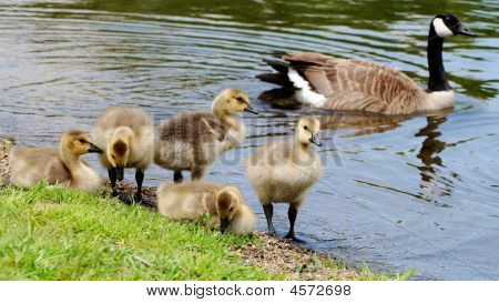Goose And Goselings