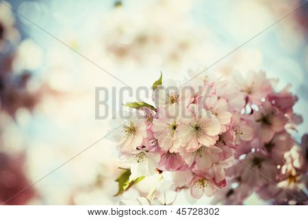 Vintage photo of white cherry tree flowers in spring