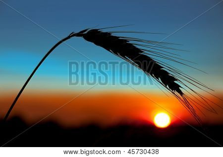 Ear of wheat on a background the sunset sun