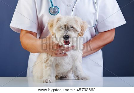 Small dog being examined at the veterinary doctor - sitting patiently poster