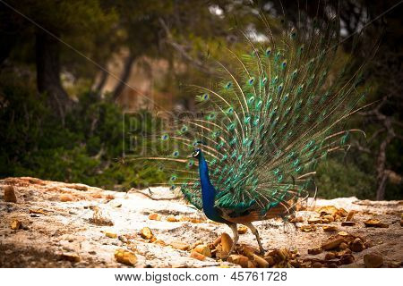 Peacock on Moni island, Greece