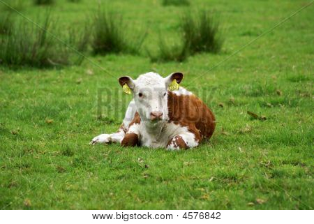 A young hereford calf resting in meadow. poster