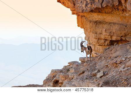 Wild ibex in the Negev Desert in Israel