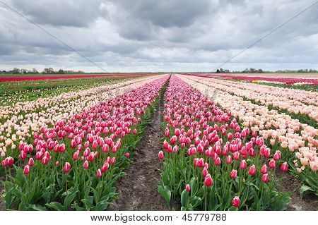 Dutch Colorful Tulip Fields