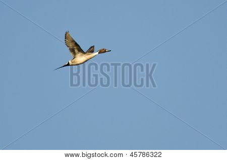 Male Northern Pintail Flying In Blue Sky