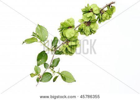 seeds of elm